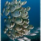 Threadfin Pearl Perch (Calendar Version) by Ross Gudgeon