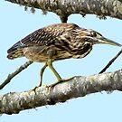 Striated Heron at Belongil Creek by byronbackyard