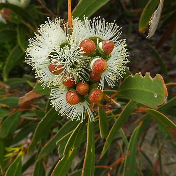 Gum blossoms bursting open by indiafrank