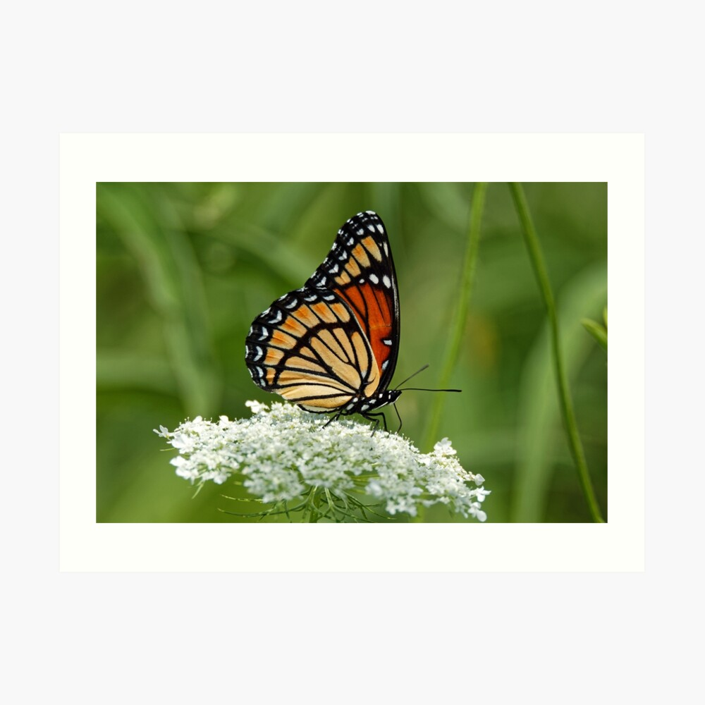 Viceroy Butterfly on Queen Anne's Lace Art Print