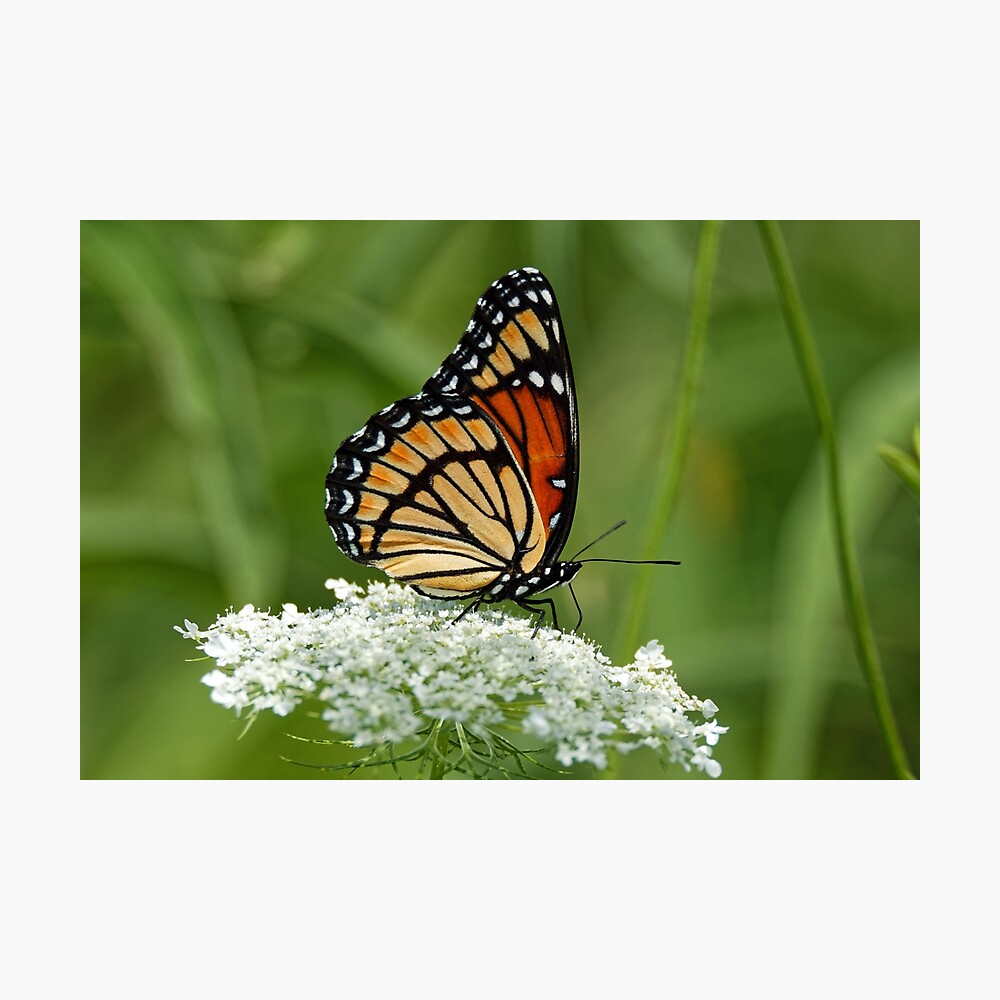 Viceroy Butterfly on Queen Anne's Lace Photographic Print