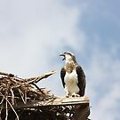 Juvenile Osprey Calling Mum by byronbackyard