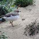 Sandpiper on the Sand by Chere Lei