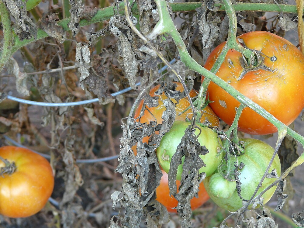 Tomato Harvest by Amanda Anne Reilly