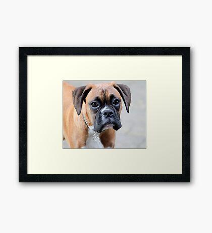 Dino - Ein Boxer Portrait - Boxer Dogs-Serie Gerahmter Kunstdruck