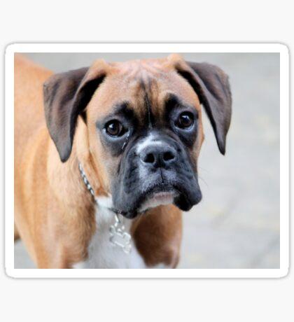 Dino - Ein Boxer Portrait - Boxer Dogs-Serie Sticker