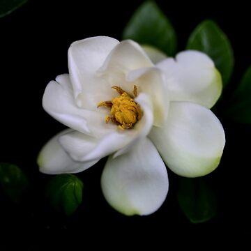 Gardenia  Flower by Evita