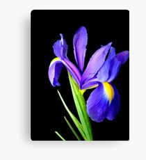 Single flower. Canvas Print