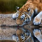 Thirsty Tiger by Kathy Weaver