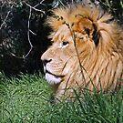 The Lion King by Al Bourassa