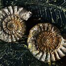 Ammonites by lastgasp