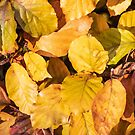 Autumn beech leaves - gold and brown by Chris Warham
