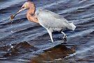 Reddish Egret by Michael  Moss