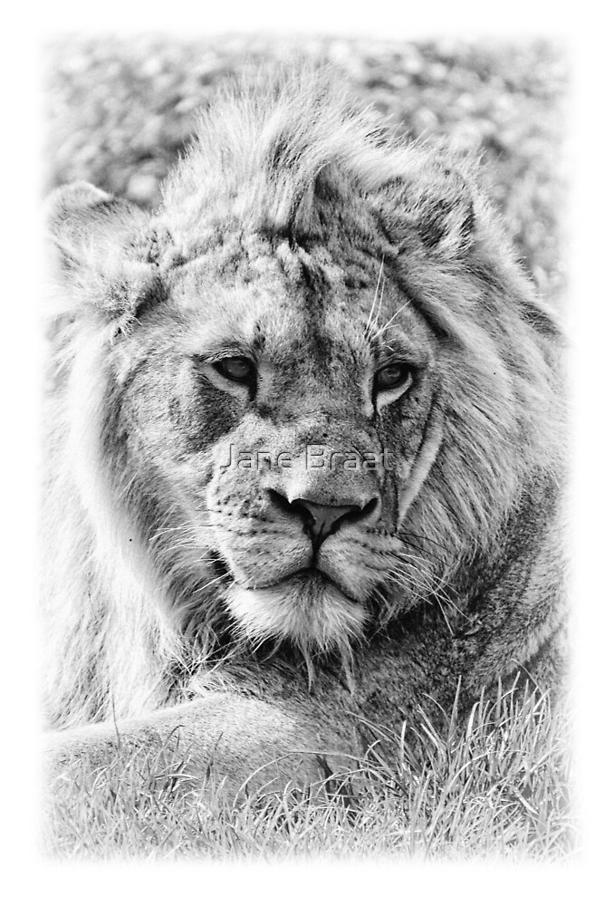 Young Lion by Jane Braat