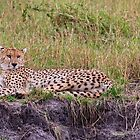 The Cheetah Stare by Kay Brewer