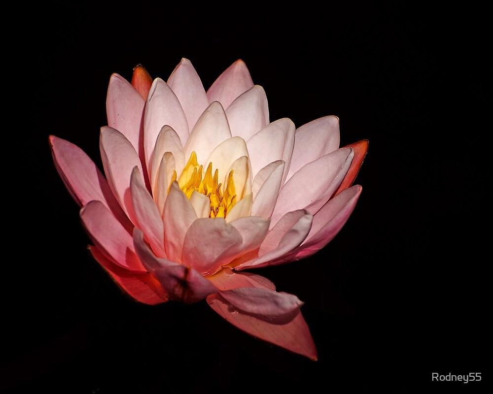 pink lilly on black by Rodney55