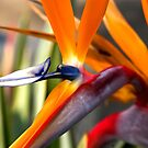 Tropical Bird Of Paradise  by K D Graves Photography