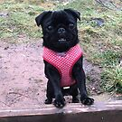 Lottie the little Pug by Mick Bull