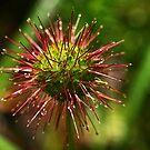 Bidgee Widgee, (Buzzy) Gembrook, Dandenong Ranges by Bev Pascoe