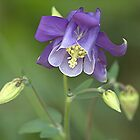 Columbine.....popped up in our garden ! by Roy  Massicks