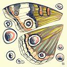 Buckeye Butterfly Wings by Evvie Marin