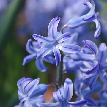 AFE Blue Hyacinth by afeimages1