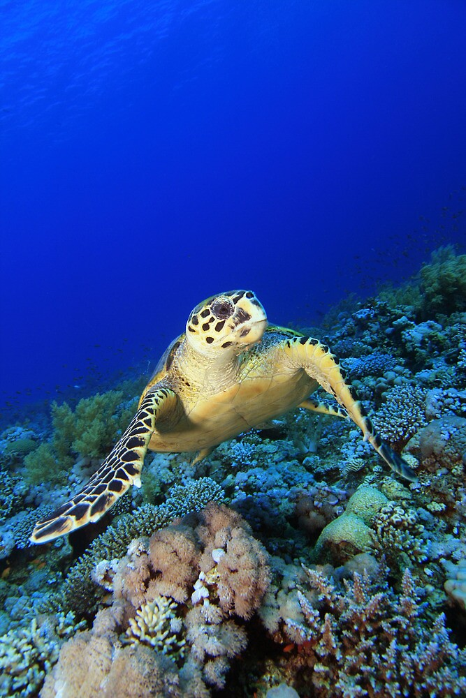 Hawksbill Turtle by Richard Carey