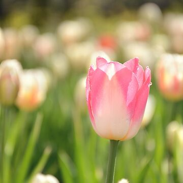 AFE Pink Tulip by afeimages1