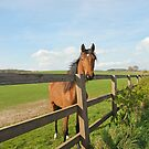 horse looking over the fence by sarahnewton