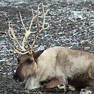Reindeer by Karl R. Martin