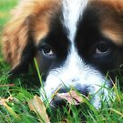 St. Bernard - Puppy Eyes by Lori Deiter