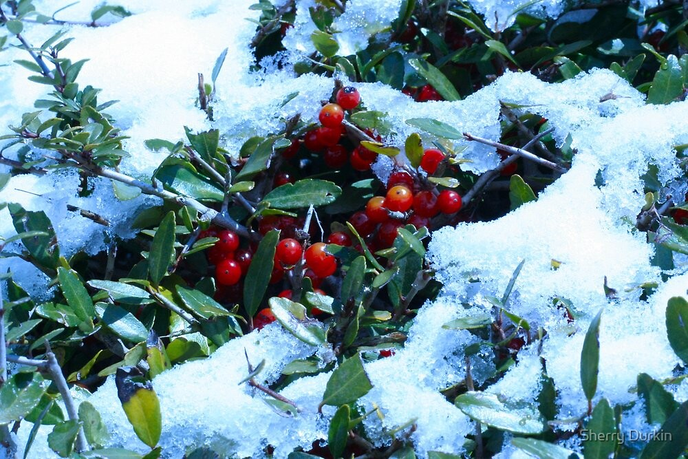 Holly Bush Covered in Snow by Sherry Durkin