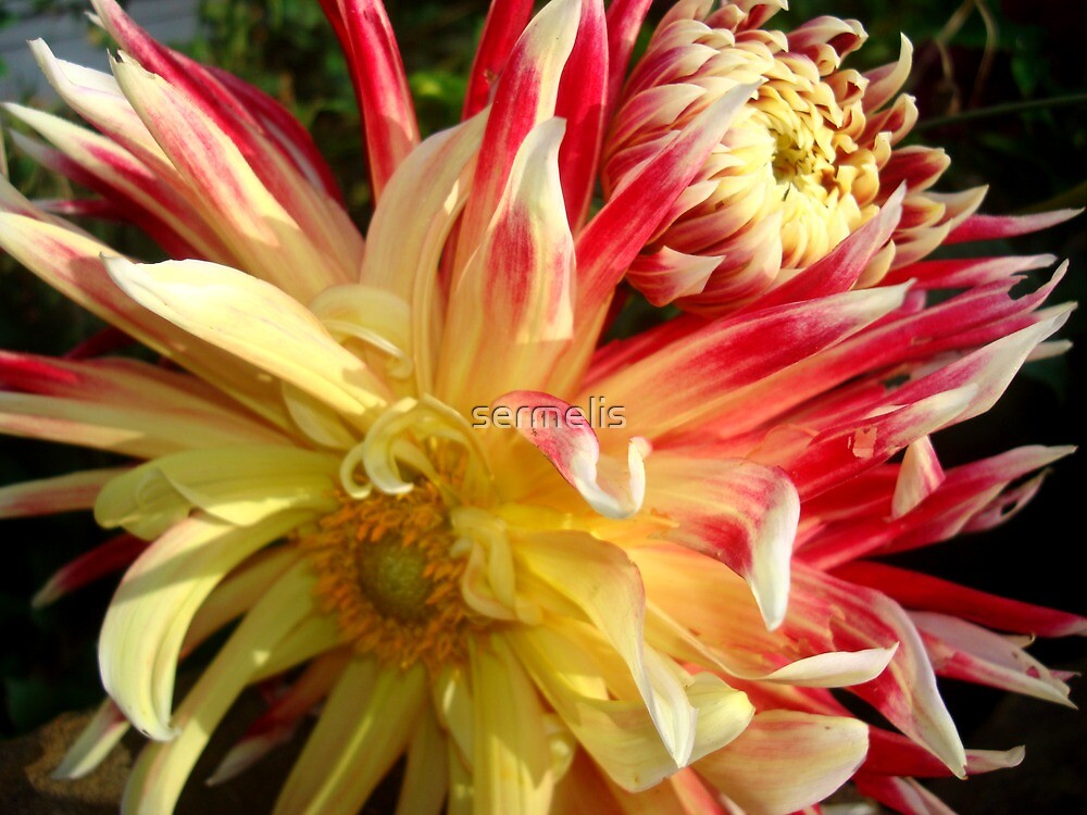 Dahlia by Iva Penner