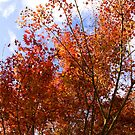 Red Maple by Kimberly Johnson