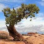 Leaning Tower of Juniper by aussiedi