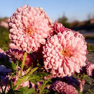 Chrysanthemum flower by Melcu