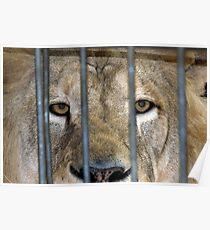 Lion1 Poster