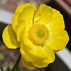 Mini Ranunculus by Penny Smith