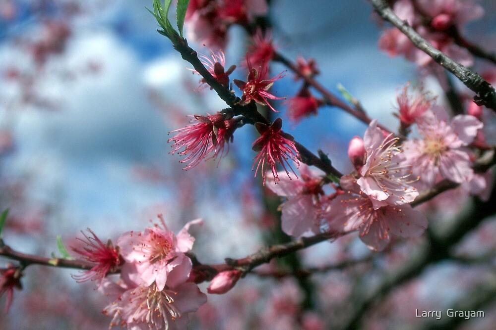 Peach blossom by Larry  Grayam