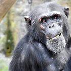 Chimpanzee by kirstybush