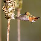 Gathering -- Rufous Hummingbird by Tom Talbott