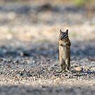Anticipation -- Chipmunk by Tom Talbott