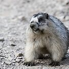 Naturally Grinning -- Hoary Marmot by Tom Talbott