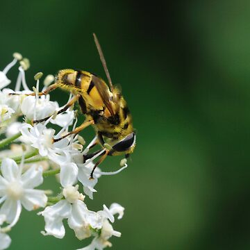 An ordinary bee by pvb25