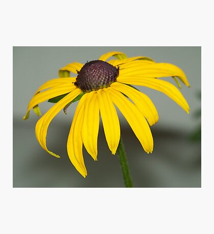 A Black-eyed Susan up close and personal. Photographic Print
