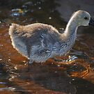 Wading by laureenr