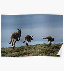 Powerful Kangaroos Bound Through The Wilderness Poster