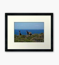 Curious Kangaroos  Framed Print
