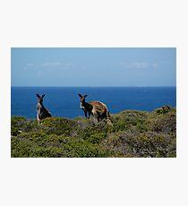 Curious Kangaroos  Photographic Print