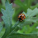 Australian Ladybird by Rick Playle